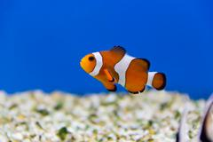 Clown fish - stock photo