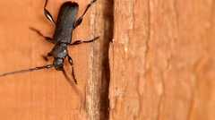 Cerambyx cerdo on a wooden board Stock Footage