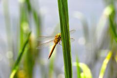 Dragonfly Sympetrum close-up sitting on the grass - stock photo