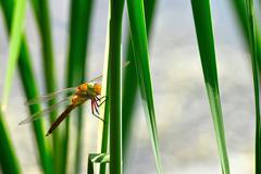 Dragonfly Sympetrum close-up sitting on the grass Stock Photos