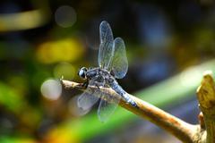 Dragonfly (Libellula depressa) close-up sitting on a branch - stock photo