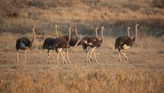 Group of ostriches walking in a row, Kalahari desert, South Africa Stock Footage