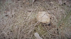 Hand plucks the mushroom greasers thickets of dry grass close up Stock Footage