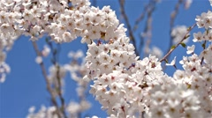 White Cherry Plum Tree Flowers Stock Footage