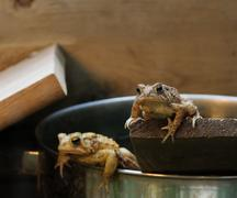 Eastern American Toads (Bufo americanus) Stock Photos