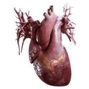 Human heart anatomy  on white background Stock Illustration