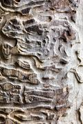Old wooden texture with bark beetle ways - stock photo
