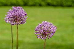Allium Giganteum in a garden - stock photo