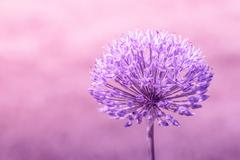 Allium Giganteum in violet colors Stock Photos