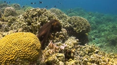 Octopus moves over a coral reef - stock footage