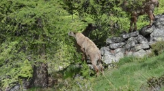 Capra ibex, bouquetin, mammal, male,  young, Gran Paradiso - stock footage