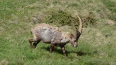 Capra ibex, bouquetin, mammal, male,  Gran Paradiso National Park, - stock footage