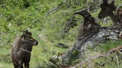 Three young males of Ibex are eating grass in Gran Paradiso National Park Stock Footage