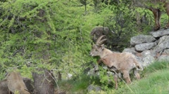 Stock Video Footage of Ibex, Capra ibex, bouquetin, mammal, male,  Gran Paradiso National Park