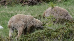 Stock Video Footage of Ibex,  Capra ibex, bouquetin, mammal, male,  Gran Paradiso National Park, Cogne,