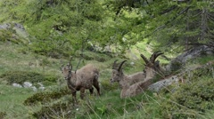 Three Ibexes (Capra ibex) in Gran Paradiso National Park Stock Footage