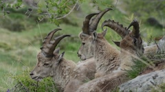 Stock Video Footage of young male, Ibex, sleep, Capra ibex, bouquetin, mammal, male,