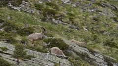 Ibexes (Capra ibex) in alpine praire - Gran Paradiso National Park Stock Footage