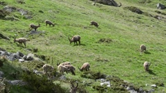 Ibexes (Capra ibex) are eating grass in Gran Paradiso National Park, Cogne Stock Footage