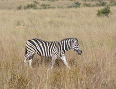 Stock Photo of Zebra in the savanna