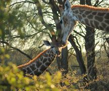 Stock Photo of giraffe in Botswana