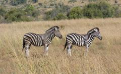Zebras in the savanna - stock photo