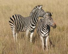 Stock Photo of Zebras in the savanna