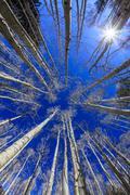 Aspens with blue sky - stock photo