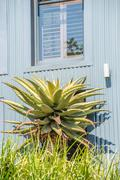 Aloe Plant in front of home - stock photo