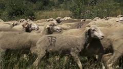 Flock of merino sheeps Stock Footage