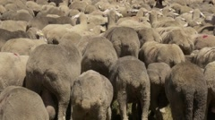 Back of a flock of merino sheep Stock Footage