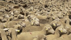 Flock of merino sheep covering the frame Stock Footage