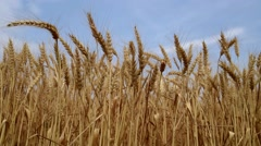Wheat field with wind in close-up Arkistovideo