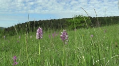Wild beautiful purple orchid (Orchis militaris), meadow - stock footage
