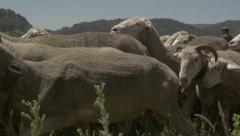Flock of Merino Sheep in slow motion Stock Footage