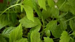 Jiaogulan, Gynostemma pentaphyllum, medicinal herb Stock Footage