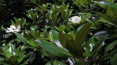 Magnolia grandiflora Stock Footage