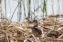 Stock Photo of Northern Pintail Duck, Anas acuta
