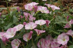 Bindweed (Convolvulus arvensis) Stock Photos