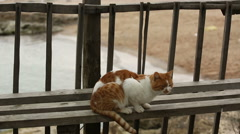 Yellow cat sits on the wooden bench and looks through fence - stock footage