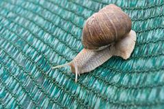 Snails (Helix pomatia) Stock Photos