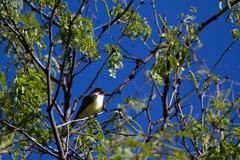 Thick-billed Kingbird, Tyrannus crassirostris - stock photo