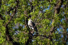 Stock Photo of Gray Hawk, Buteo plagiatus (sometimes called Asturina nitida)
