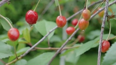 Red berry sweet cherry on a background of green foliage with water drops Stock Footage