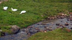 Ducks near creek Stock Footage