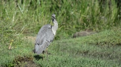 The grey heron (Ardea cinerea), is a wading bird of the heron family Ardeidae - stock footage