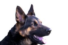 German shepherd dog portrait isolated on white background Stock Photos