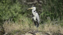 The grey heron (Ardea cinerea), is a wading bird of the heron family Ardeidae 3 - stock footage