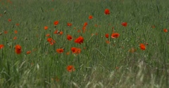 Red Poppies, Papaver, Blossoms, Field Grass, Ears Stock Footage