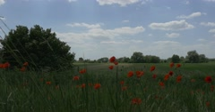 Red Poppies' Field, Papaver, Field Flowers, Cloud, Shadow Stock Footage
